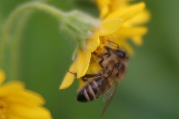bee on a yellow flower_resized